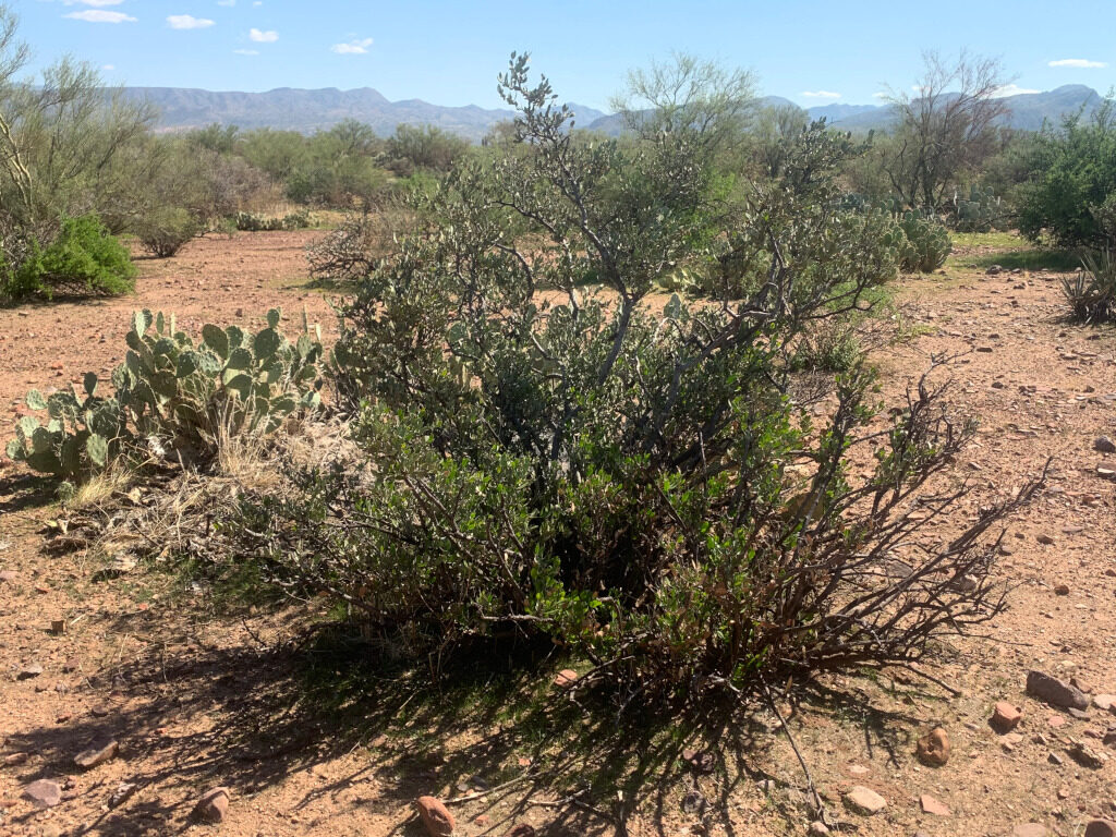 Sonoran Desert, Campaign Grazing Allotment, Tonto National Forest, October 2019.
