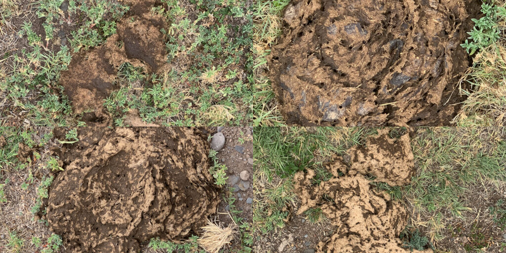 Some of the numerous cow turds found within the Wenima Wildlife Area on July 23, 2019, because the fence separating it from the adjacent state grazing lease #05-001662 had been cut.